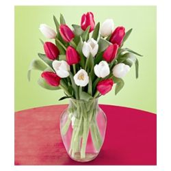 12 Red and White Tulips with Free Vase